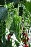 Вкусный органический сладостный рост паприки в большом голландском парнике, всегда стоковое изображение rf