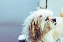 Владелец подготавливает мальтийскую кожу щенка после ливня стоковые изображения