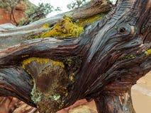 Влажная древесина с плотным строением лишайника стоковые изображения rf