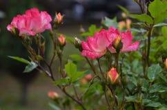 Влажная роза пинка с естественным светом Стоковая Фотография