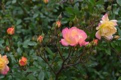 Влажная роза пинка с естественным светом Стоковые Фотографии RF