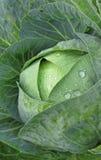 Влажная свежая капуста Стоковые Изображения RF