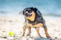 Влажная собака тряся около моря стоковое фото rf