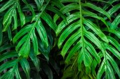 Влажное зеленое monstera выходит темная предпосылка Стоковые Фото