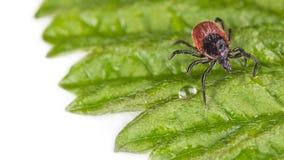 Влажное тикание фасоли рицинуса на декоративных зеленых лист с падением дождя ricinus взятый лабораторией s ixodes собаки пальто  стоковые фото