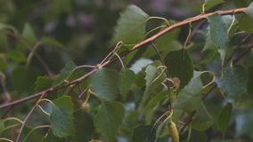 Влажные ветви и листья березы в дожде видеоматериал
