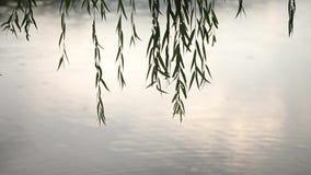 Влажные ветвь дерева и конец ливня вверх Зеленое дерево в запачканной предпосылке дождя Вода падая на ветвь в лесе сток-видео