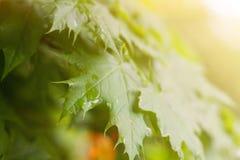 Влажные зеленые молодые листья с падениями дождя в теплом солнечном свете стоковое изображение