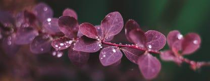 Влажные красные листья с дождевыми каплями, предпосылкой макроса стоковое фото