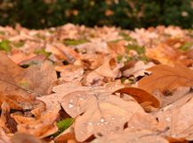 Влажные листья дуба на траве стоковые фотографии rf