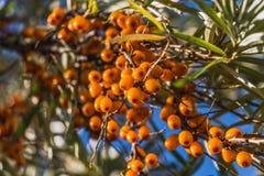 Влажные пуки зрелых оранжевых ягод крушины моря красных или ягод моря с зелеными и желтыми листьями на предпосылке голубого неба  стоковые фотографии rf
