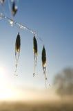 Влажные семена травы Стоковое Фото
