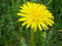 Влажный желтый одуванчик Стоковое Изображение