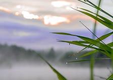 Влажный крупный план камышовой травы на туманном утре стоковые изображения