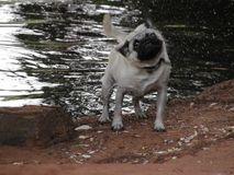 Влажный мопс Стоковая Фотография