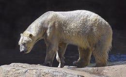 Влажный полярный медведь идя на естественные валуны стоковое фото rf