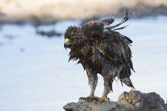 Влажный Booted орел сидит на том основании для того чтобы высушить вне после ванны раньше Стоковое фото RF