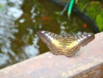 Влияние бабочки Стоковые Изображения RF