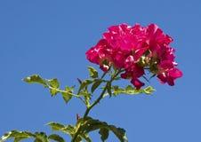 Влияние выреза розовых роз против голубого неба стоковое фото rf