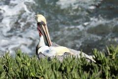 Вложенность пеликана на стороне скалы с океаном на заднем плане Стоковое Фото