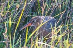 Вложенность птицы в высокорослой траве на заболоченных местах Bolsa Chica Стоковая Фотография RF