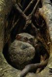 Вложенность семьи Tarsius Tarsiers более tarsier в дереве в национальном парке Tangkoko, северном Сулавеси, Индонезии Стоковая Фотография