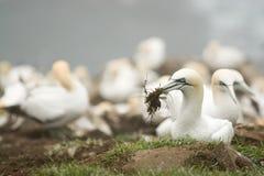 вложенность gannet Стоковые Фотографии RF