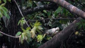 Вложенность garzetta egretta птицы замедленного движения белая Меньший egret принимает гнездо заботы сток-видео
