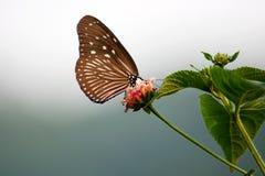 влюбленности цветка бабочки Стоковая Фотография