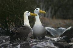 влюбленность альбатроса Стоковые Изображения RF