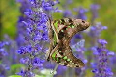 влюбленность бабочки Стоковые Изображения