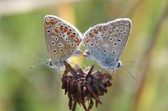 влюбленность бабочки стоковое изображение rf