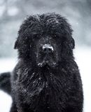 Влюбленность валентинки xmas рождества santa собаки Ньюфаундленда милая Стоковая Фотография