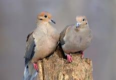 влюбленность голубей Стоковое Фото