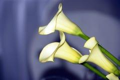 влюбленность лилий calla Стоковые Изображения
