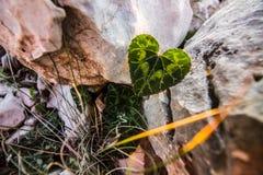 влюбленность, лист в форме сердца В первый раз листовки весной, Стоковая Фотография