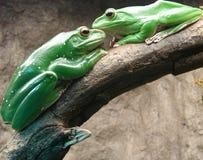 влюбленность лягушек Стоковое Изображение