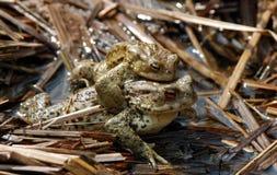 влюбленность лягушек Стоковое Фото