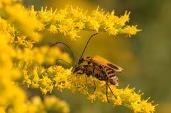 влюбленность насекомого Стоковые Фото