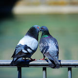 влюбленность птиц Стоковая Фотография RF