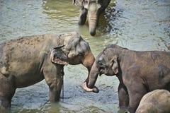влюбленность слона Стоковое Изображение