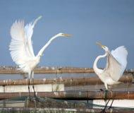 влюбленность egret Стоковые Фото