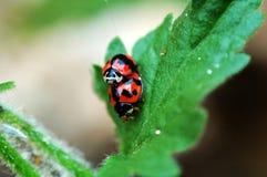 влюбленность ladybirds Стоковые Изображения RF