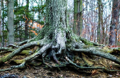 Внешнее фото запаса дневного времени большого дерева укореняет на туманный зимний день на парке Риджа каштана в парке сада, Нью-Й Стоковые Фото