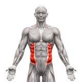 Внешние вкосую мышцы - мышцы анатомии изолированные на бело- 3 бесплатная иллюстрация