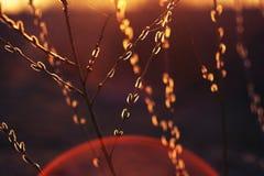 Внешние зацветая вербы красоты Стоковое Изображение