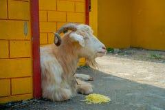 Внешний взгляд белой козы отдыхая в зале с noddles в земле в городке на поселении беженца Tashi внутри Стоковые Фото
