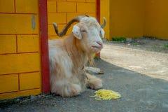 Внешний взгляд белой козы отдыхая в зале с noddles в земле в городке на поселении беженца Tashi внутри Стоковое Изображение RF