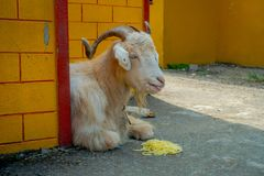 Внешний взгляд белой козы отдыхая в зале с noddles в земле в городке на поселении беженца Tashi внутри Стоковые Изображения