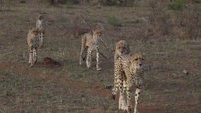 Внешний видео- идти семьи гепарда видеоматериал